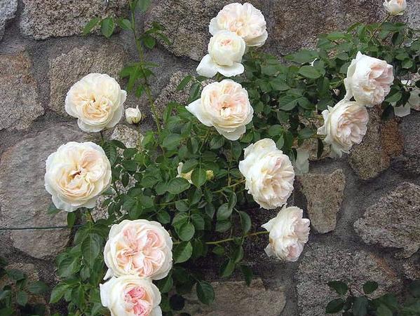 Top trei trandafiri la mod n 2016 personalizeaz i gr dina sau balconul - Mon jardin et ma maison ...
